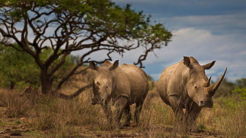 Afrique: 249 rhinocéros ont été tués en Afrique du Sud